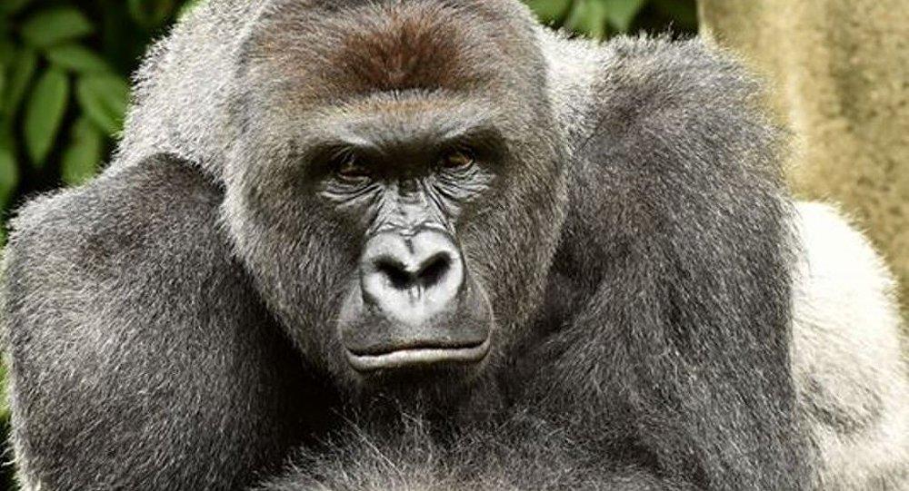 ABD'nin Ohio eyaletindeki Cincinati Hayvanat Bahçesi'nde dört yaşında bir çocuğun kafesine düşmesi nedeniyle öldürülen goril için imza kampanyası başlatıldı.
