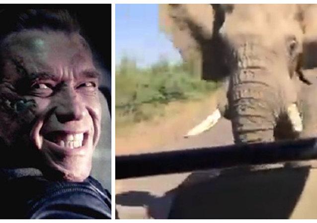 'Terminatör'ü filler kovaladı