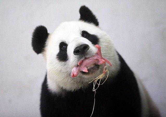 Belçika'ya Çin'den getirilen Hao Hao isimli bir panda, dün bir yavru dünyaya getirdi.