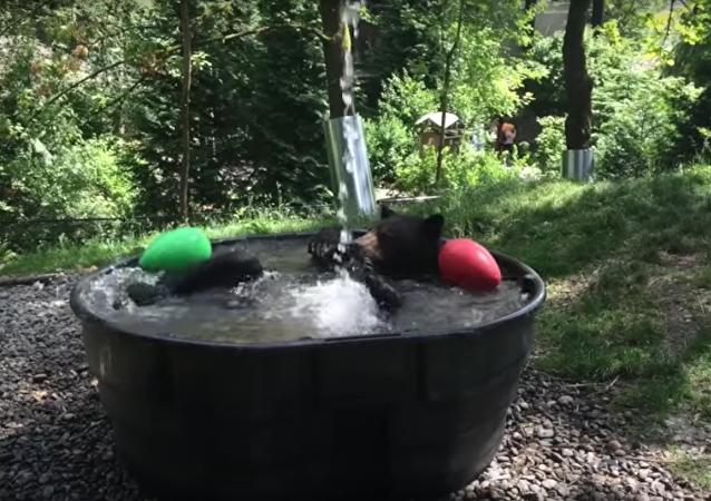 Siyah ayı Takoda'nın banyo keyfi
