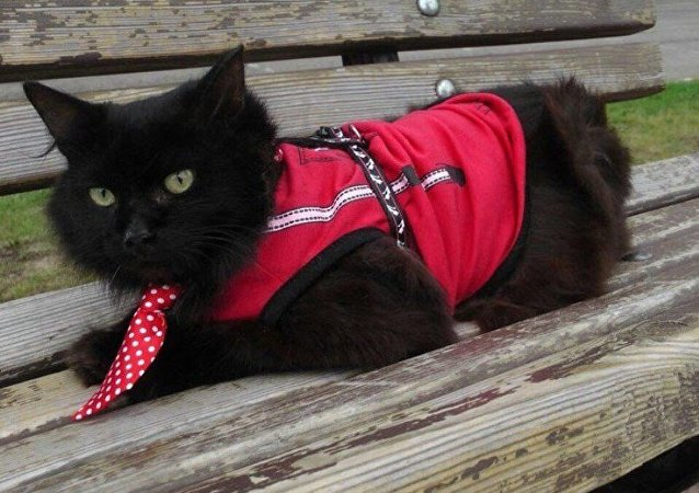 Kedi Begemot Rusya parlamentosunda koltuk peşinde