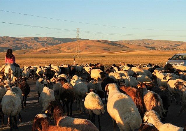 4 bin lira maaşa rağmen çoban bulamıyorlar