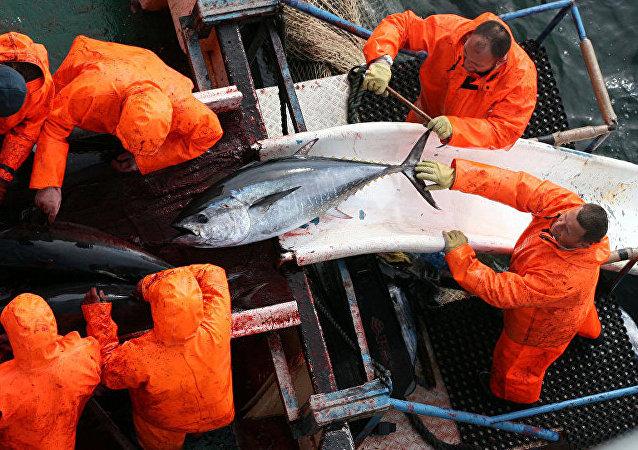 Hırvatistan'da yakalanan devasa ton balığı