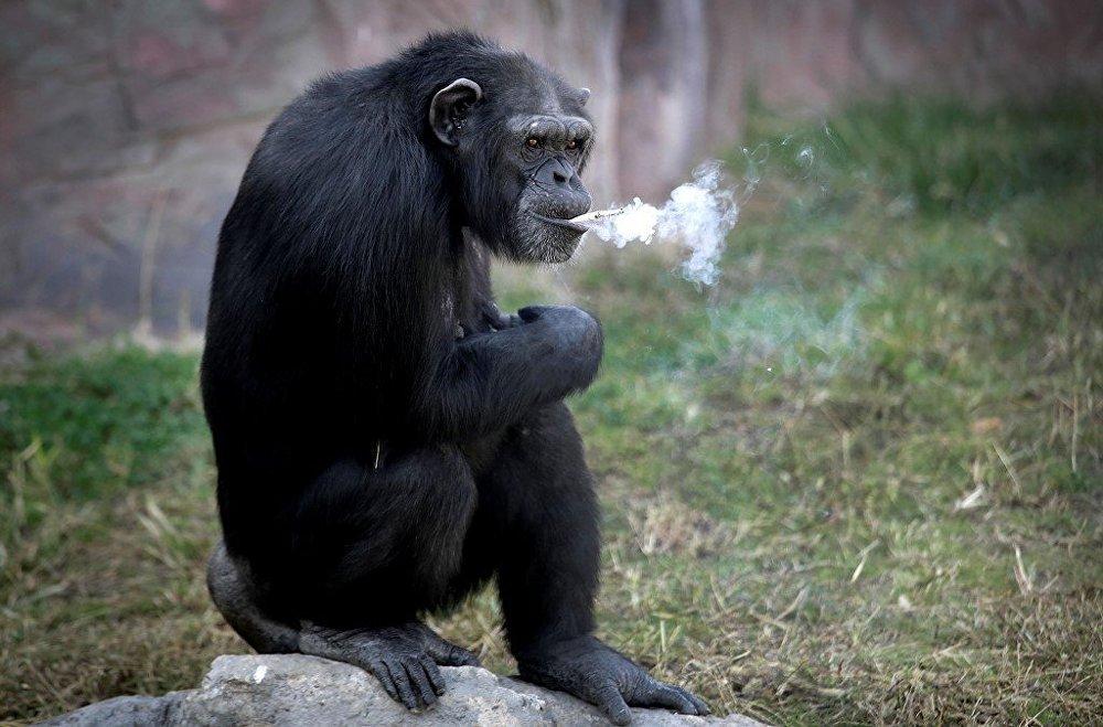Kuzey Kore'nin başkenti Pyongyang'da açılan bir hayvanat bahçesinde Azalea adlı şempanze, günde bir paket sigara içiyor.