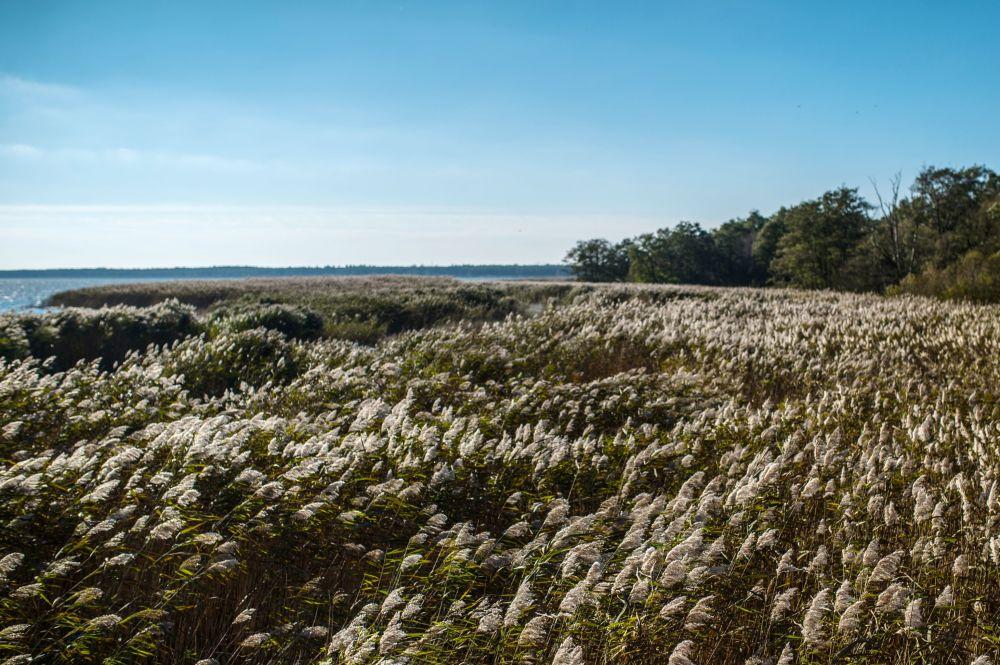Kuron Dili milli parkında, Kuron lagününün kıyısındaki su kamışı.