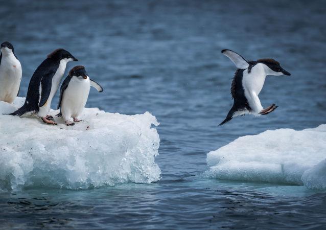 Adelie penguenleri buz kütleleri arasında zıplıyor.