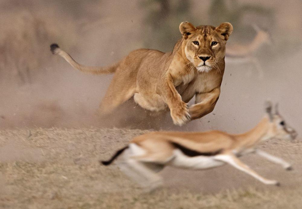 İtalyan fotoğrafçı Pierluigi Rizzato'nun çektiği 'Dişi aslanın avı' isimli fotoğraf.