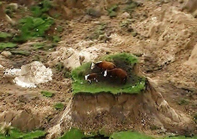 Yeni Zelanda'daki depremde mahsur kalan inekler