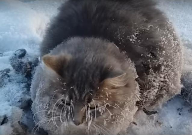 Rusya'da dondurucu soğuklukta ısınmak için bir aracın altına giren bir kedinin patileri yere yapıştı. Rus bir çift, uzun uğraşlar sonucunda -35 derece havada donmaktan kurtardı.