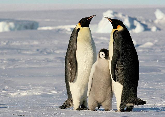 Antarktika'daki İmparator Penguenler