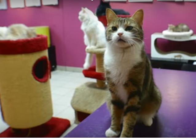 Rusya'nın St. Petersburg kentindeki Kedi Cumhuriyeti isimli kafede yaşayan Maru isimli kedi sayı saymasının yanı sıra basit matematik sorularını doğru şekilde çözebiliyor.