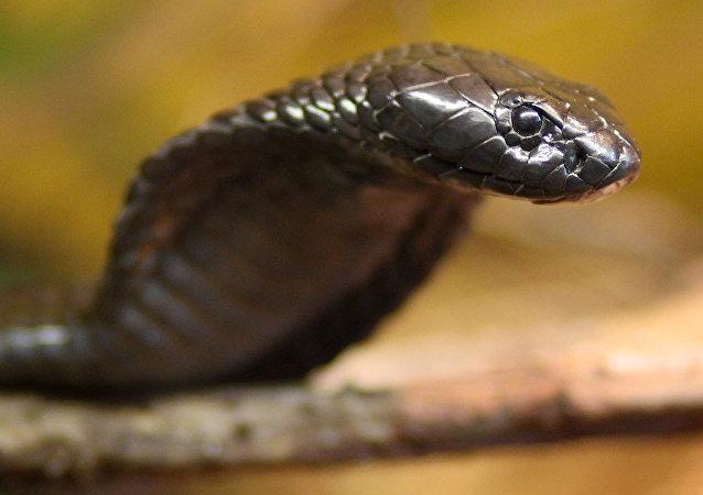 Kobra yılanı