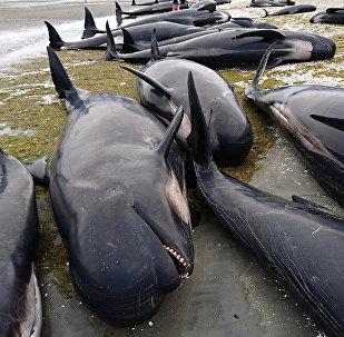 Yeni Zelanda'da balinalar kıyıya oturdu
