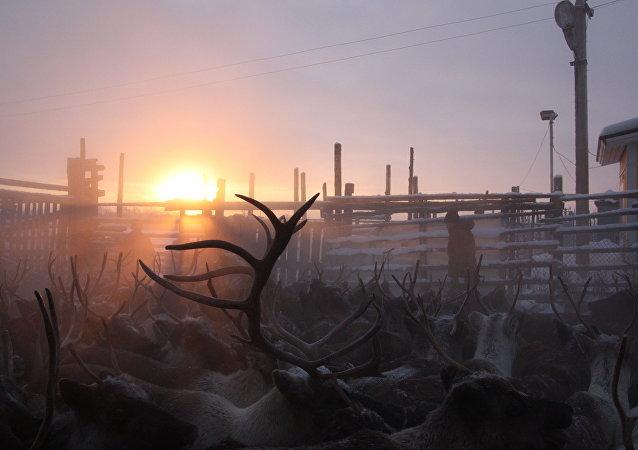 Arktik bölgesinde geyikler