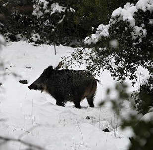 Çekya ormanlarında radyoaktif yaban domuzları bulundu