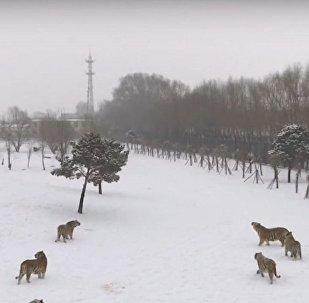 Sibirya kaplanlarının drone avı