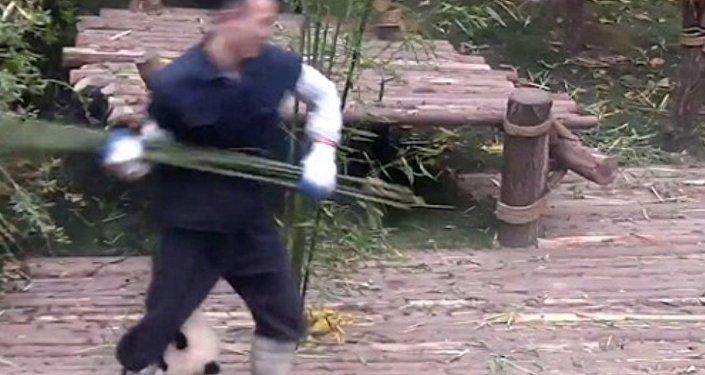 Sichuan panda