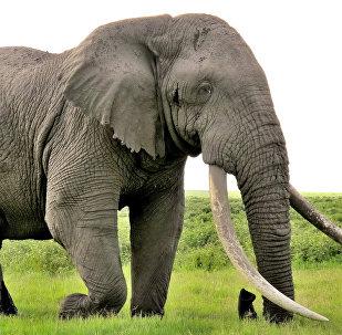 Kenya'da yaşayan bir uzun dişli fil
