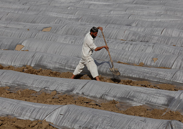 Pakistanlı bir çiftçi