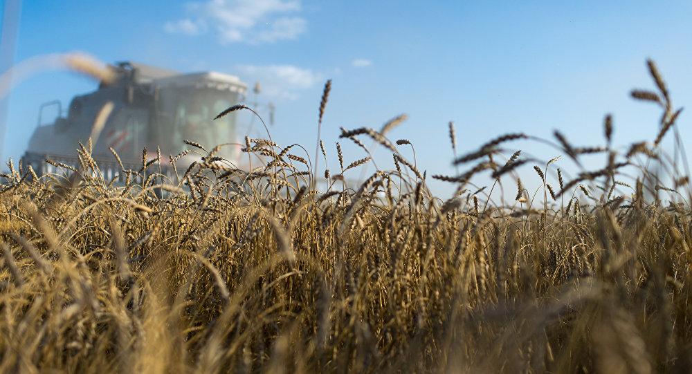 Bereketli topraklar ülkesi Türkiye, buğdayı Rusya'dan ithal edecek