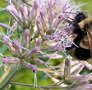 Paslı yamalı yaban arısı