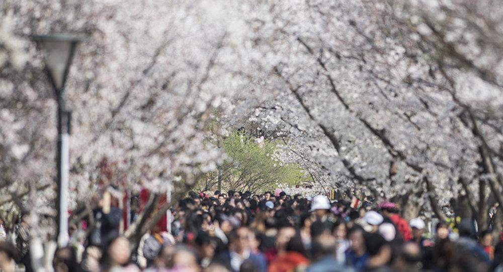 Japonlar kiraz ağaçlarının altında baharın gelişini kutladı