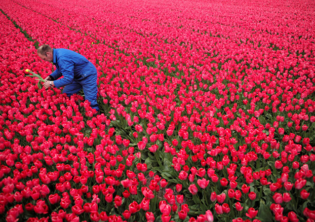 Hollanda / Lale