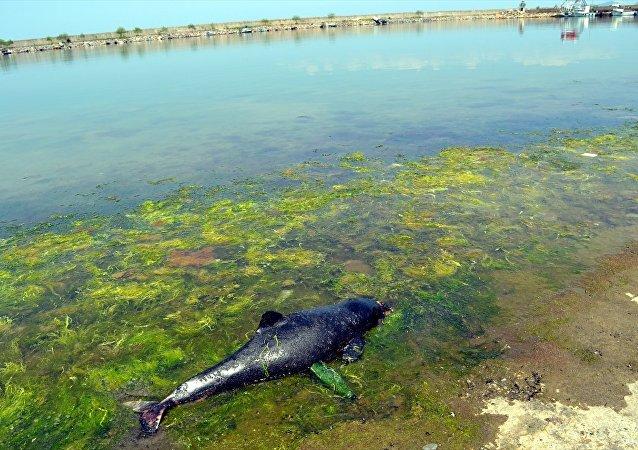 Zonguldak'ta ölü yunus bulundu