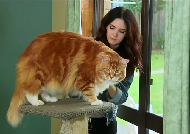 'Dünyanın en uzun kedisi' Omar, internet fenomeni oldu