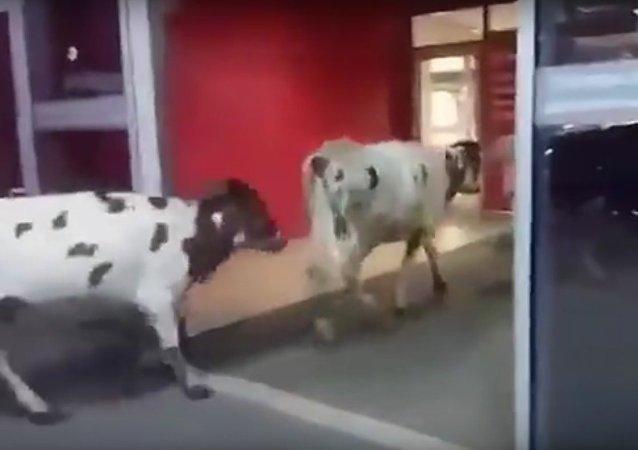 """Rusya'da yolu şaşıran inekler AVM'ı """"ziyaret"""" etti"""
