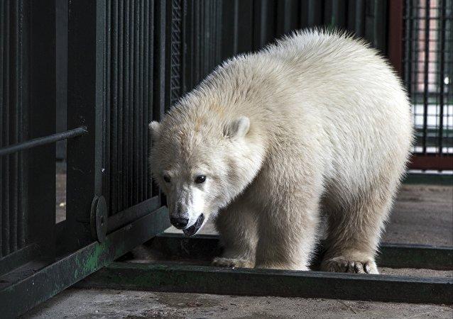 Kutup ayısı Nika