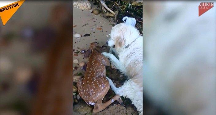 Boğulan yavru geyiği kurtaran kahraman köpek internet yıldızı oldu