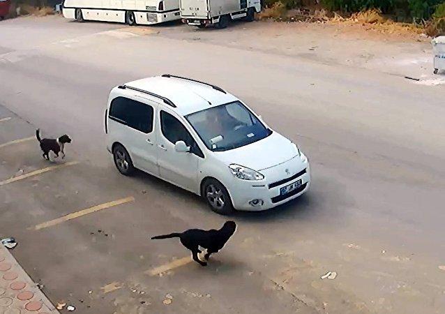 Antalya'da Erhan Kozan, köpeklerin üstüne aracını sürüp birinin başını ezerek öldürdü
