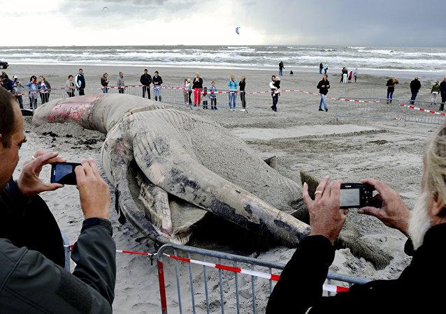 Hollanda'da kıyıya vuran bir balina cesedi