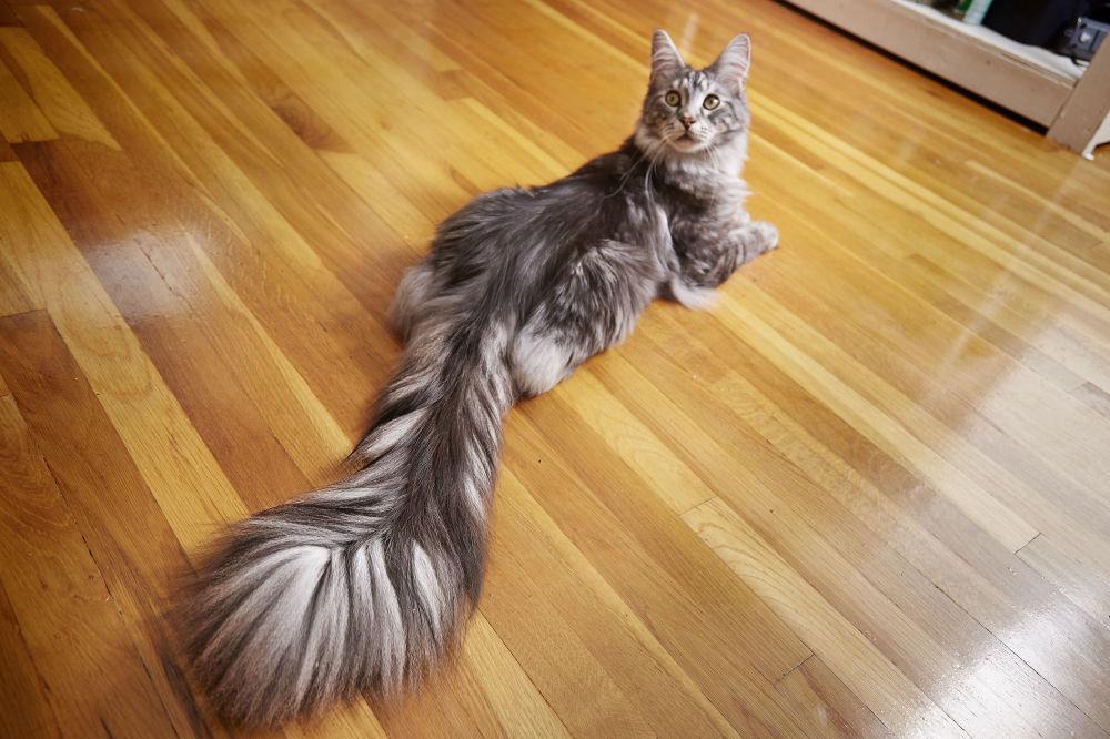 En uzun kuyruklu kedi Cygnus
