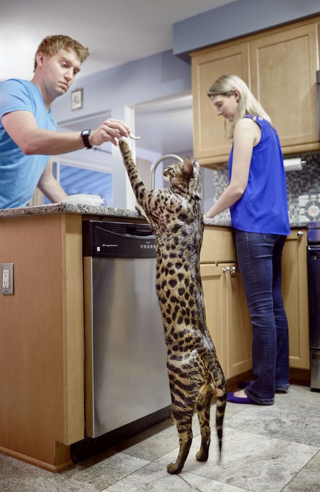 En uzun boylu kedi Arcturus