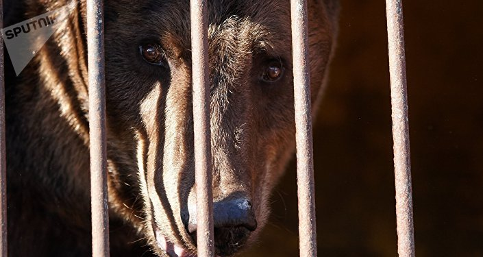 A bear rescued from the city zoo, at an improvised shelter in Ussuriisk