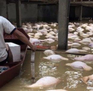 Domuzlar selden yüzerek kurtulmaya çalıştı (video)