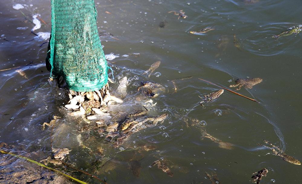 Kurbağa kaçakçılığı operasyonu