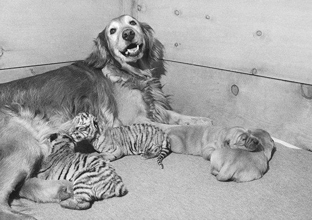 Bir golden retriever, yavru Bengal kaplanları emziriyor - 1971