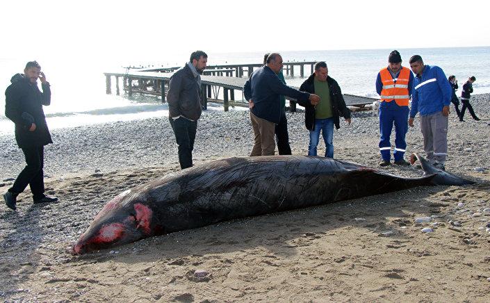 Kemer'de kıyıya vuran yavru balina