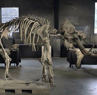Eşi benzeri olmayan mamut iskeletleri İngiltere'de satışa çıkarıldı