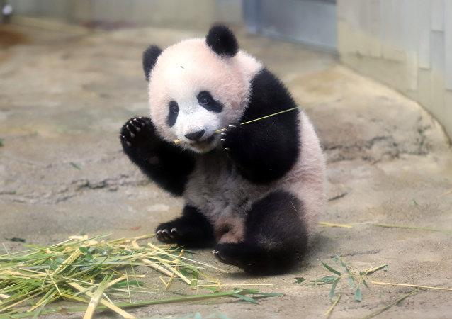 Panda yavrusu  Şiang Şiang