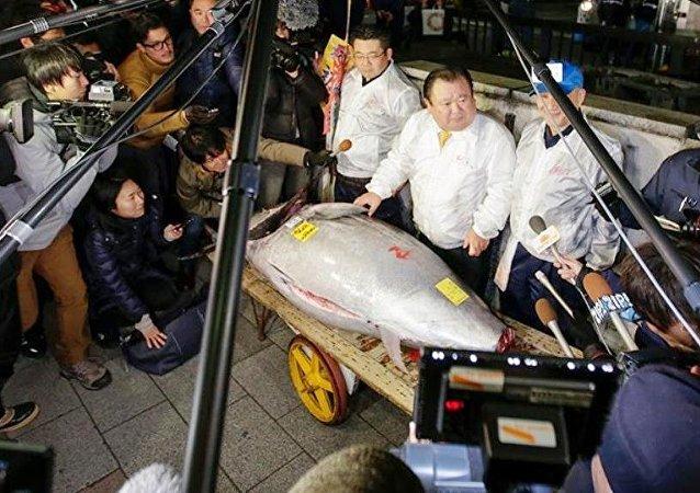 Tarihi Japonya balık hali Tsukiji'da 405 kilogramlık yılın ilk dev orkinosu, 320 bin dolara alıcı buldu