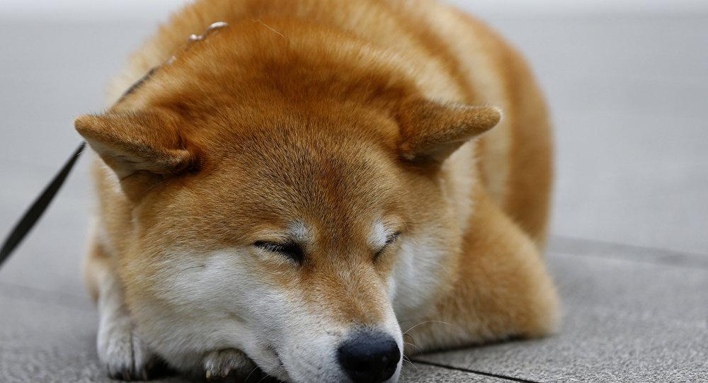 Shiba Inu ırkından bir köpek