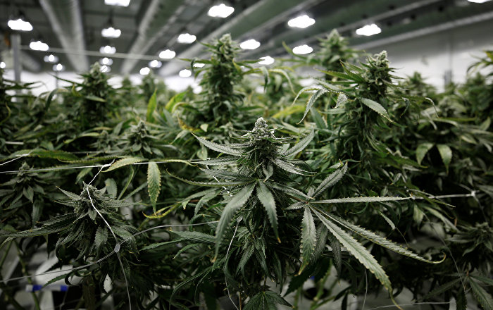 Günlük marihuana kullanımının mental psikoz riskini artırıyor