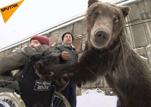Moskova'da bir sirk ayısı, terbiyecisini hastaneden aldı
