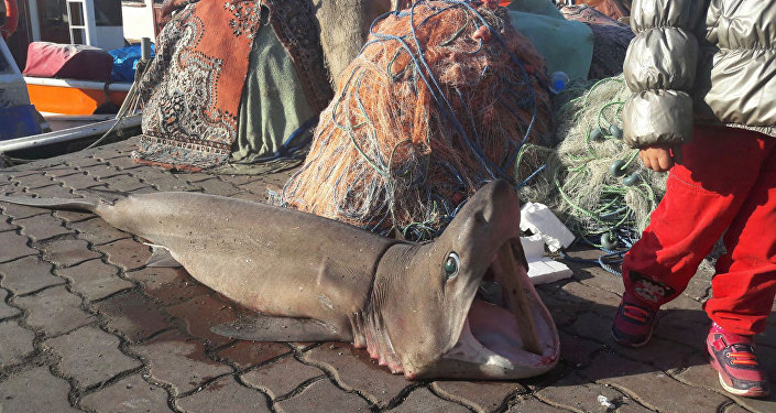 Dogfish caught in Marmara