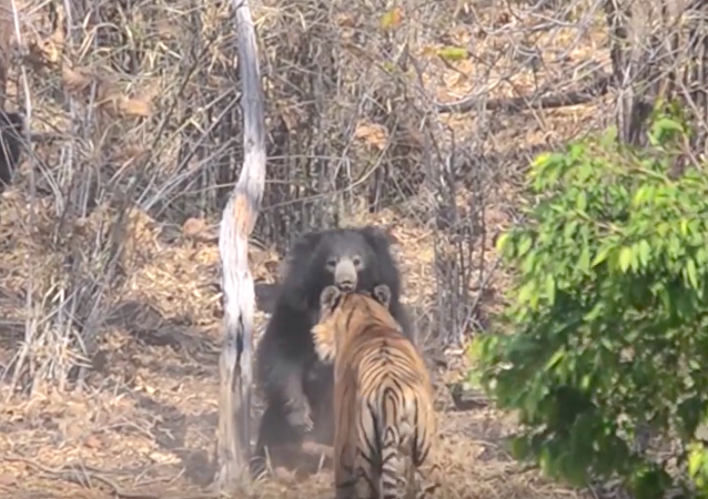 Dişi ayı yavrusunu kaplana karşı böyle korudu