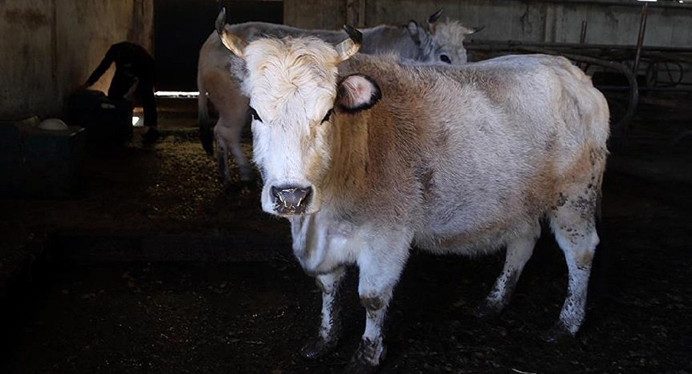 60.000 sığır ithal edilecek